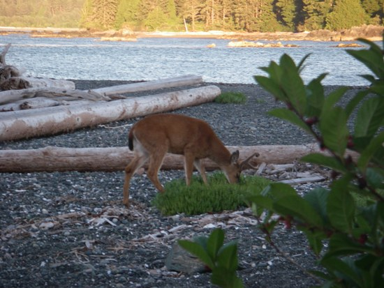 Kayaking Vancouver Island Nuchatlitz Inlet deer on the beach